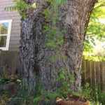 County tells homeowner maple is not 'heritage tree'