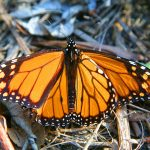 Park It by Ned MacKay: Monarchs at Ardenwood